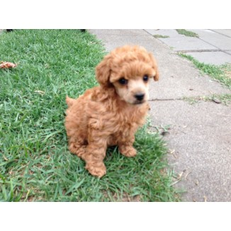 Toy Poodle Purebred Puppies