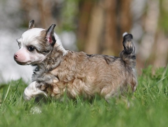 Chinese Crested Podwer Puff valper